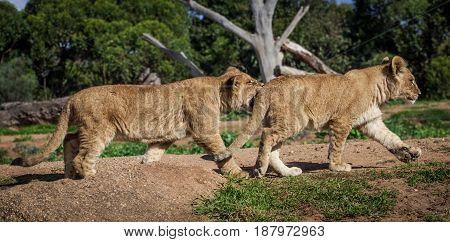 Two Young Lion Cubs Playing And Biting.