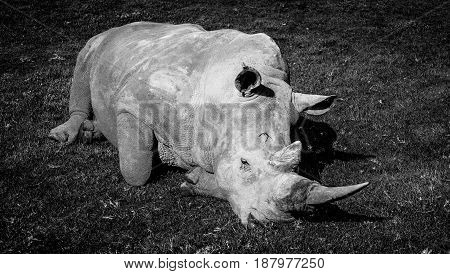 The Southern White Rhinoceros Laying In The Grass - Stylized Black And White Image.