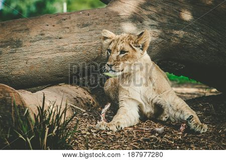 Young Lion Cub Lying Under Tree Trunk.