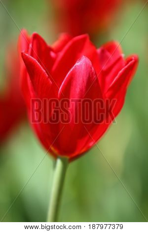Lone red tulip in a field, Pella, Iowa