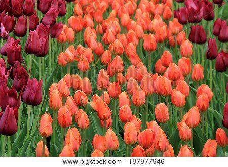 Inviting image of peach and purple tulips set in pretty landscaped garden