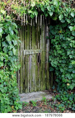 Old, weathered wood door set in wall of green ivy