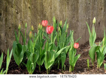 Old, weathered wood fencing with bed of bright pink tulips growing in front of it
