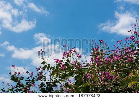 Shrub Of Pink Flowers On Blue Sky With Clouds. Outdoor At The Daytime On Summer Day.