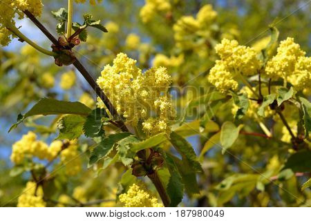 Elder or Elderberry (Sambucus nigra). Branches with flowers and leaves in spring.