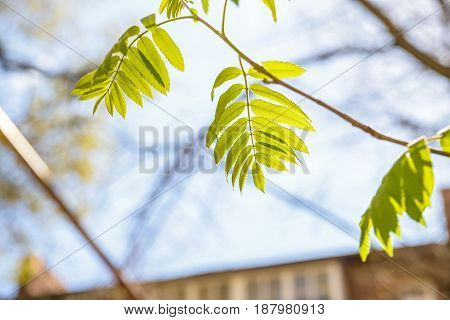 Close up tree branch with green leaves and clear sky in background