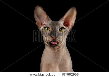 Portrait of Curious Peterbald naked Cat with funny face, showing tongue on isolated black background, Front view