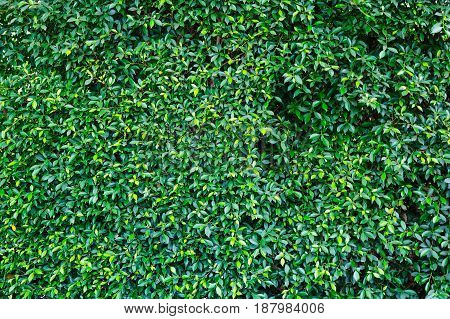 Backdrop texture of green leaves natural wall.
