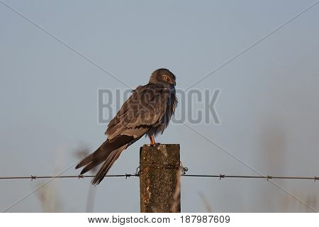 Montagus harrier (Circus pygargus) resting on a pole in the soft light of sunrise