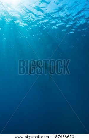 Manta Ray With Sun Rays Near Sea Surface