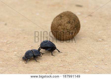 Flightless Dung Beetle, Addo Elephant National Park