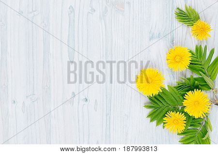 Yellow dandelion flowers and green leaves on light blue wooden board. Copy space top view.