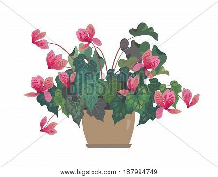 Flower in a pot. Pink Cyclamen. Home flowers. Isolalated on white