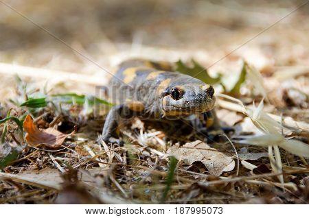 Poisonous serpent salamandra Linnaeuswerneri Sochurek Gayda.  Blurred background
