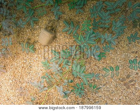 LEGUMINO-SAE or NEPTUNIA JAVANICA MIQ and beautiful spherical stones. Grows on sand and small stones. In the sunshine
