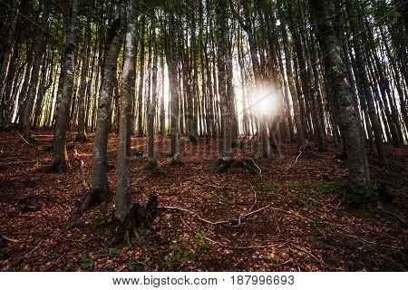 Sunbeam penetrates through the woods in forest.