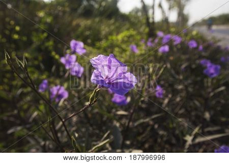 Purple wild petunias flowers in morning .