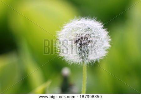 Beautiful spring flower dandelion on a grassy meadow