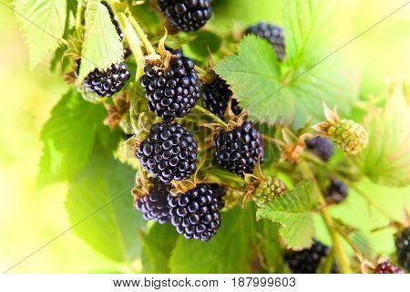 Blackberries On A Branch In Garden
