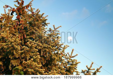 Beautiful branch and needles with cones big spruce on the background of summer sky