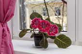 Crimson spotted gloxinia (sinningia) on the windowsill poster