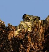 Mother and baby Great Horned Owls (Bubo virginianus) in a tree cavity. Shot at Buchanan Dam Texas. poster