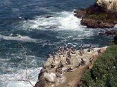 pelicans resting on cliffs of la jolla, california. poster