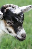 A close up of the face of a very young goat. poster
