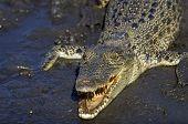 Northern Australian Saltwater Crocodile in Mud poster