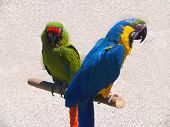 2 Macaw Parrots at the Muskegon channel. poster