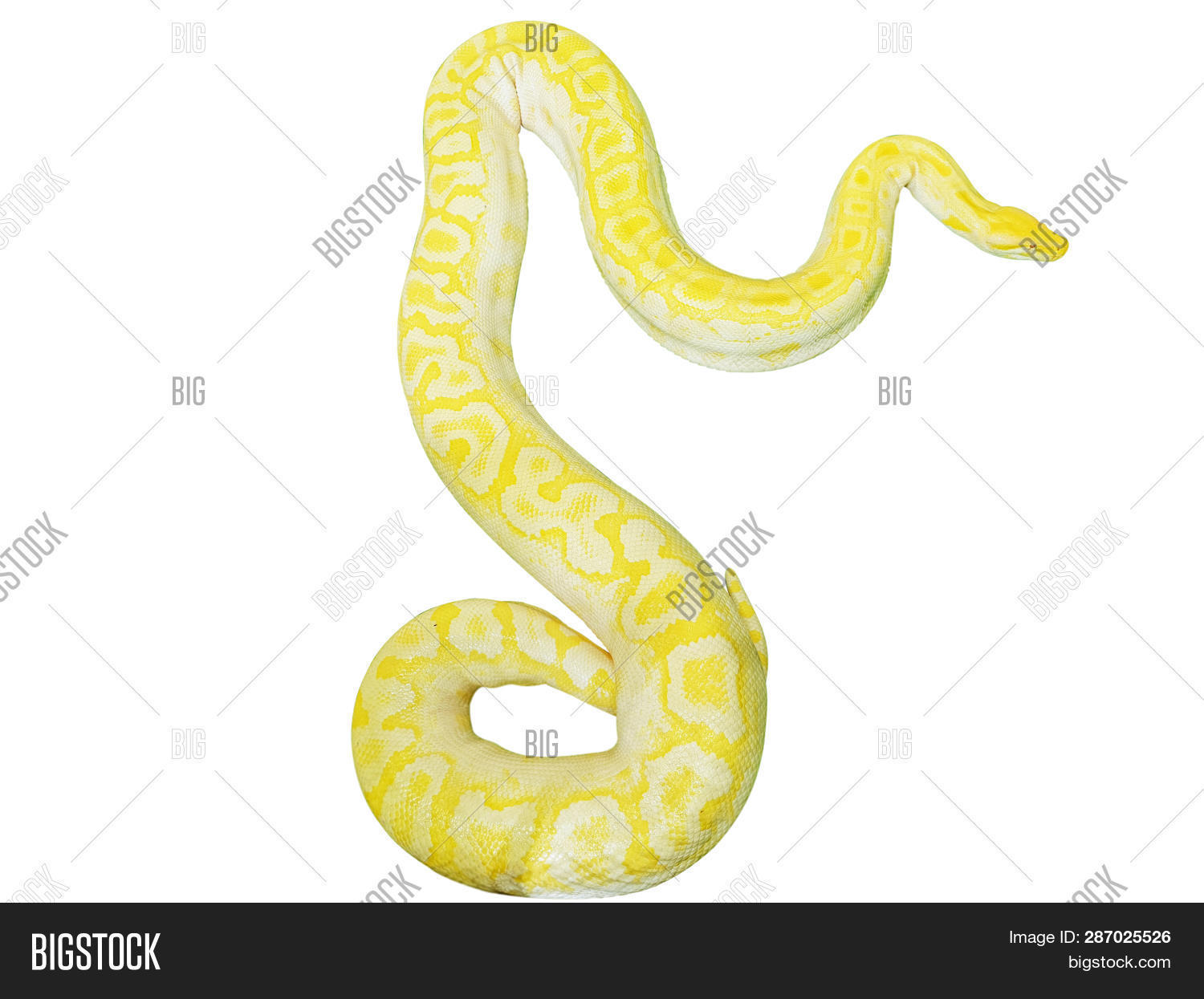 Giant Gold Boa Snake Image & Photo (Free Trial) | Bigstock