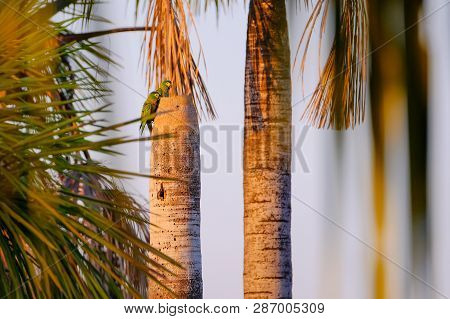 A couple of Red-bellied Macaw, Orthopsittaca Manilata, green colored parrot bird with yellow head and red belly, palm lagoon Lagoa Das Araras, Bom Jardim, Nobres, Mato Grosso, Brazil, South America poster
