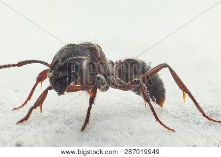 An Ant In The House. Formicidae, Animalia