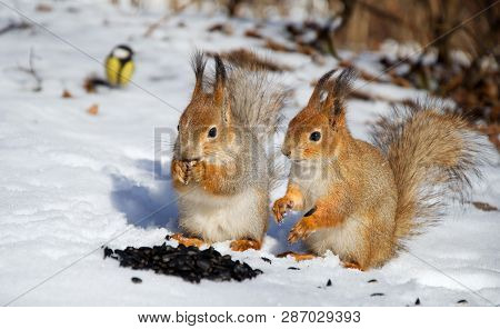 Two Red Squirel In The Snow Eating Sunflower Seeds