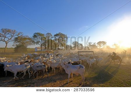 Unrecognizable Cowboys With Cows At A Farm With Sign Fazenda Paraiso - Paradise Farm Portuguese Text