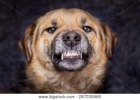 The Dog Shows Teeth. Angry Dog Is Ready To Bite. Caution Is An Evil Dog