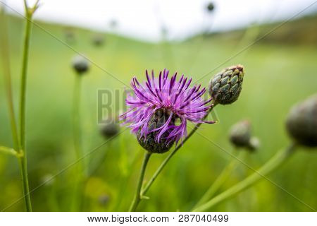 Summer Green Wildflowers And Insects, White Dandelion, Strawberries, Purple Safflower, Beautiful Bot