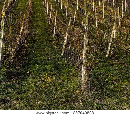 Small Vineyard Planted Uphill With Concrete Columns And Plants.