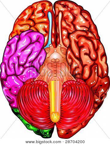 Human brain underside view vector