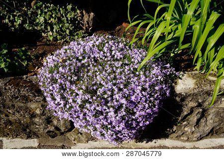 Blooming Alyssum Purple Flower Pillow