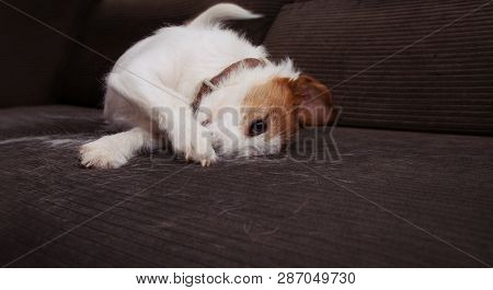Furry Jack Russell Dog, Annual Shedding Hair During Molt Season Playing On Sofa Furniture