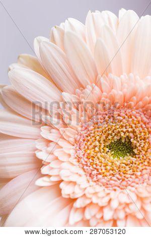Closeup Tender Peach Gerbera Daisy Flower. Pastel Color Esthetics. Minimalistic Natural Background.