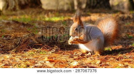 Little Squirrel With Walnut  In Conifer Forest