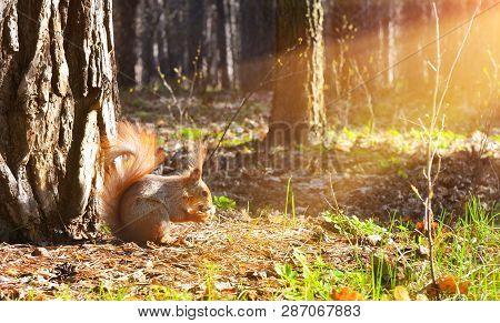 Little Pretty Squirrel,walnut And Sunbeam In Conifer Forest