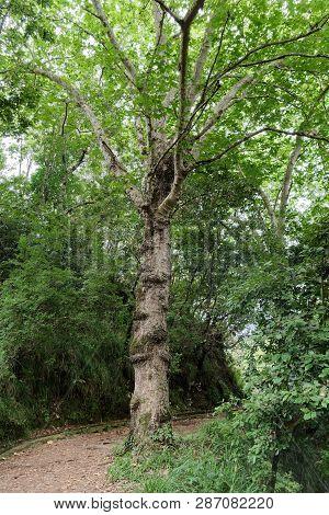 Single Green Tree On The Hiking Trails. Ribeiro Frio On Portuguese Island Of Madeira