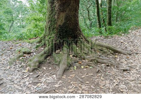 Tree Trunk With A Roots In The Ground. Madeira, Portugal