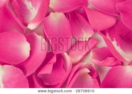 Fondo de pétalo de rosa