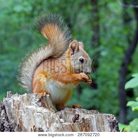 Eurasian Red Squirrel Gnaws Nuts. Ordinary Squirrel (lat.sciurus Vulgaris) Is The Genus Of Rodents O