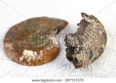 Ammonite Fossil Embedded On White Cement Background.