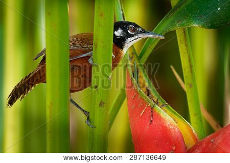 Bay Wren - Cantorchilus Nigricapillus  Is A Highly Vocal Wren Species Of Forested Areas, Especially
